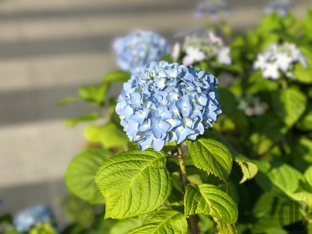 あじさい写真日記(2017.05.30)